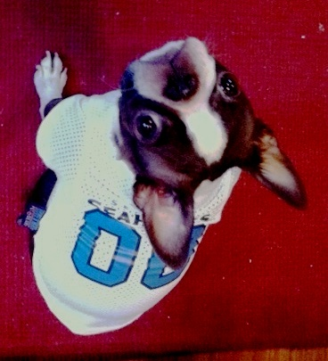 Image of a brown and white Boston Terrier dog wearing a Seahawks Jersey