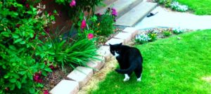 Large black and white domestic cat poised along a brick border fronting rose bushes